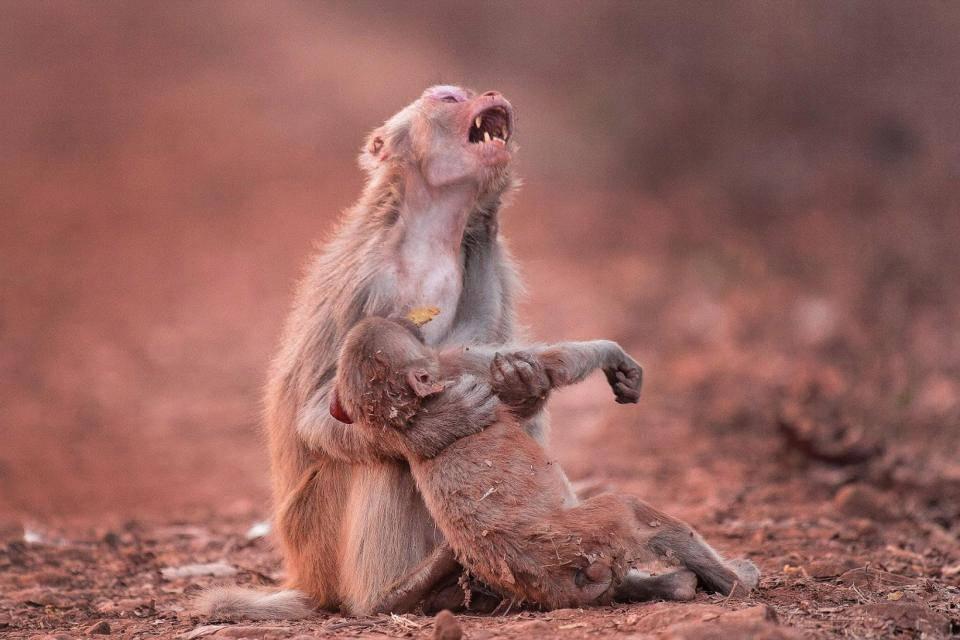 L'urlo di dolore di una scimmia