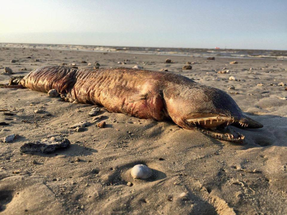 L'uragano Harvey lascia in spiaggia una misteriosa creatura – PHOTOGALLERY