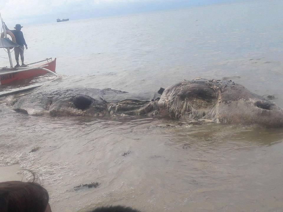 """Una gigantesca creatura marina sulla spiaggia: """"E' mistero anche per gli scienziati"""" – VIDEO"""