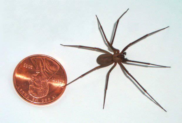 Claressa Coleman rischia di morire per il morso di un ragno eremita
