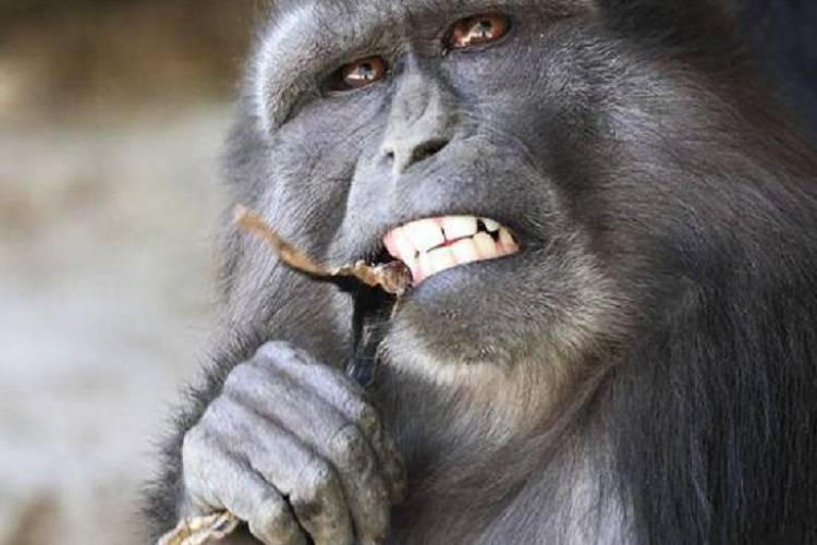 Mamma macaco accudisce il figlio morto, poi 'cambia idea' – FOTO