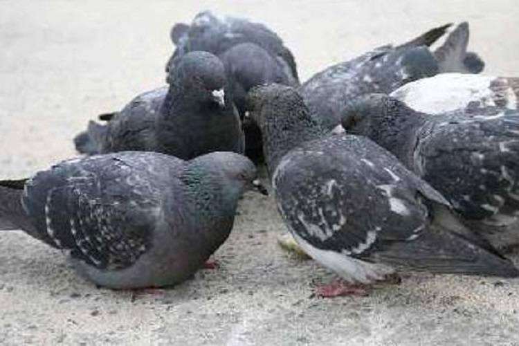 Nova Milanese, padre figlia avvelenati dalla sporcizia dei piccioni