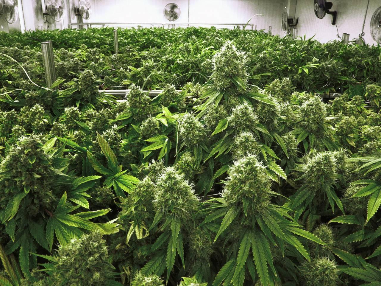 California: la legalizzazione abbatte il commercio illegale di marijuana, aumenta quello di eroina
