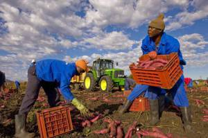 Migranti al lavoro nei campi (FRANCOIS XAVIER MARIT/AFP/Getty Images)