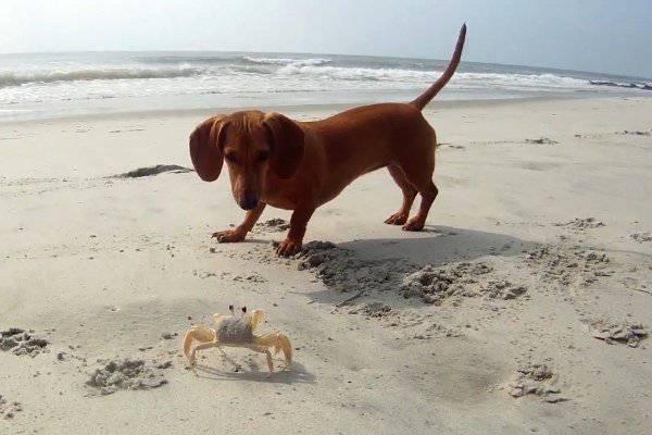 Un tenero cane da caccia gioca con un granchio sulle spiagge del South Carolina (video YouTube)