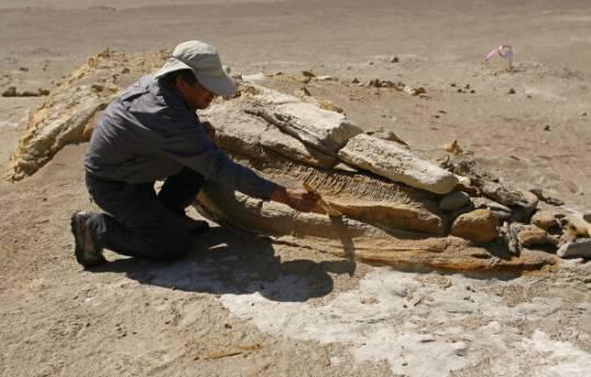 Perù: scoperto fossile di un cetaceo di 40 milioni di anni