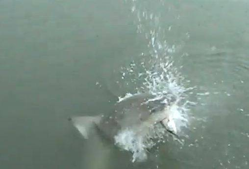 Momenti di panico in Sud Carolina: uno squalo abbocca all'amo da pesca… (video YouTube)
