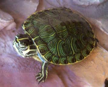 tartarughe vive usate come portachiavi l 39 ultima moda