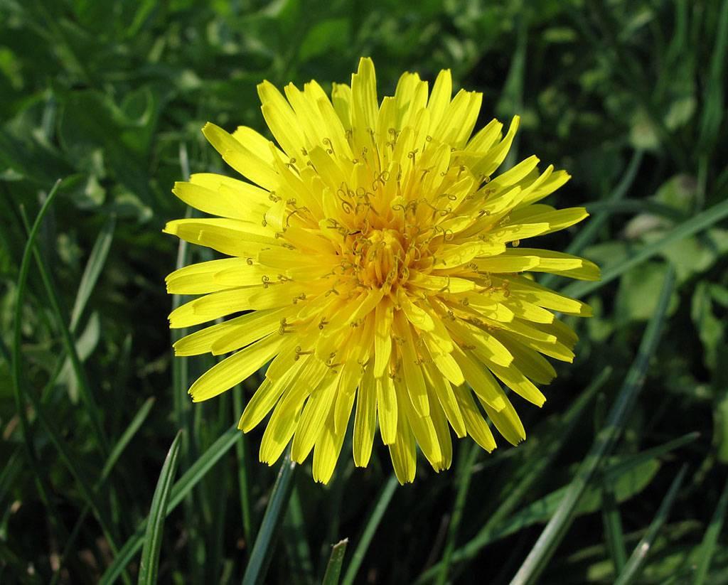 Il tarassaco una delle piante depurative per eccellenza for Tipi di fiori