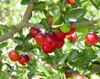 La pianta dell'Acerola, antiossidante e vitamina C