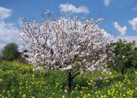 albero mandorlo Il frutto della mandorla prezioso scrigno di grassi insaturi