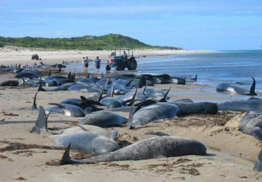 Morte 107 balene spiaggiate sull'isola di Stewart Island in Nuova Zelanda