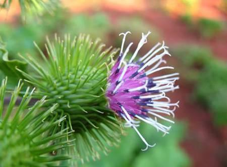 La bardana: l'utilizzo di questa pianta nella medicina naturale