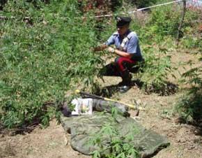DROGA / Cilento, scoperta piantagione di cannabis, arrestato un uomo incensurato