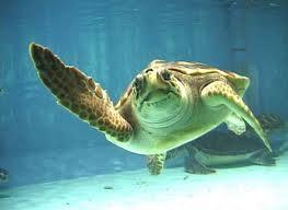 AMBIENTE/ 13 Agosto, Tarta-day: giornata dedicata alla tartaruga marina Caretta caretta