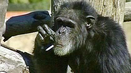 CHARLIE SCIMPANZE' FUMATORE / Sudafrica, morto a 52 anni l'animale (Vedi Video)