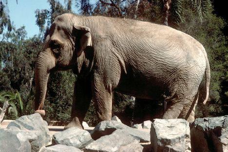 Germania moria allo zoo di berlino dopo knut muore - Elefante foglio di colore dell elefante ...