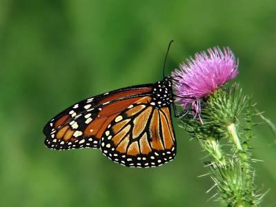 Le farfalle hanno il Gps integrato. A renderlo noto l'Università del Massachusetts