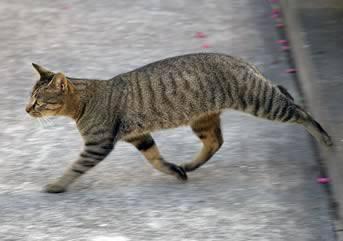 Un gatto che attraversa la strada