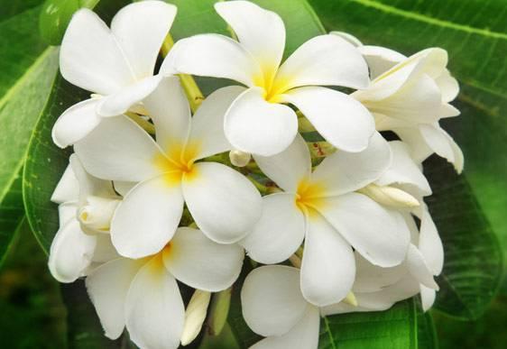 Gelsomino, la pianta afrodisiaca