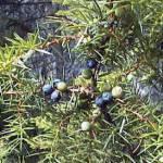 Ginepro: la pianta curativa del Mediterraneo
