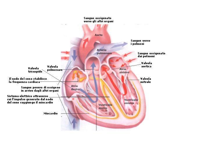 Nelle prime fase della gravidanza si formano i difetti congeniti del cuore