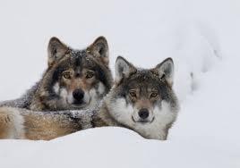 Svezia e Ue ai ferri corti sulla caccia al lupo