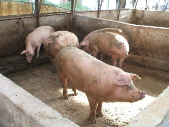 In Germania individuate alte percentuali di diossina nella carne di maiale