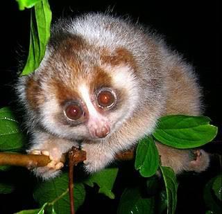 AMBIENTE / Sri Lanka, individuato un raro primate, il Loris gracile rosso si credeva estinto