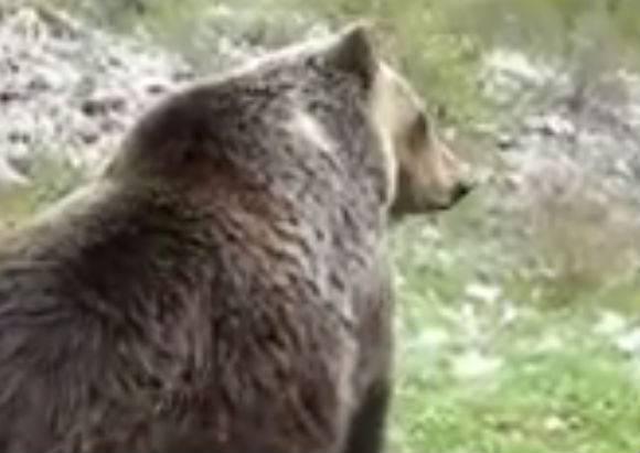 L'Aquila, uccisione orso marsicano: un indagato