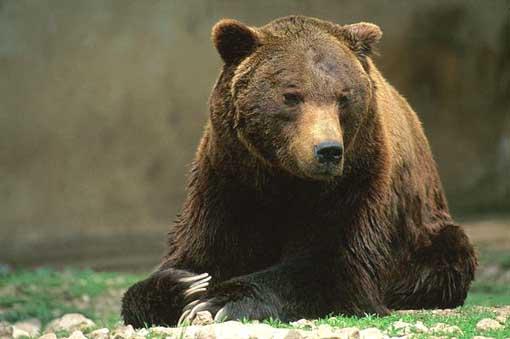 SERVIZIO CIVILE / WWF, L'Italia è presente per la protezione all'orso marsicano