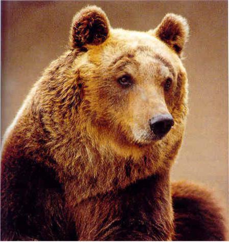 ANIMALI / Allarme dal Corpo Forestale dello Stato, l'Orso Marsicano rischia l'estinzione: solo 40 rimasti