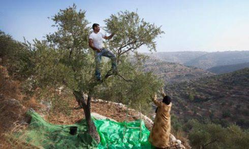 Cisgiordania, guerra delle olive tra arabi e coloni israeliani