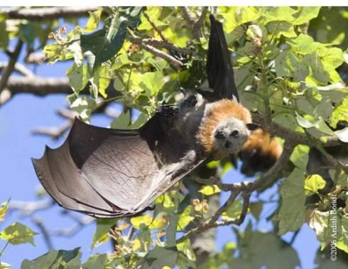 Pipistrelli attivi anche di giorno: scoperta sensazionale in Africa