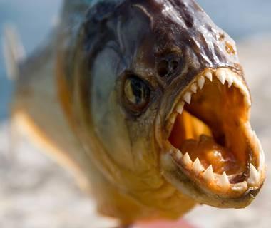Bolivia: piranha assaltano bagnanti