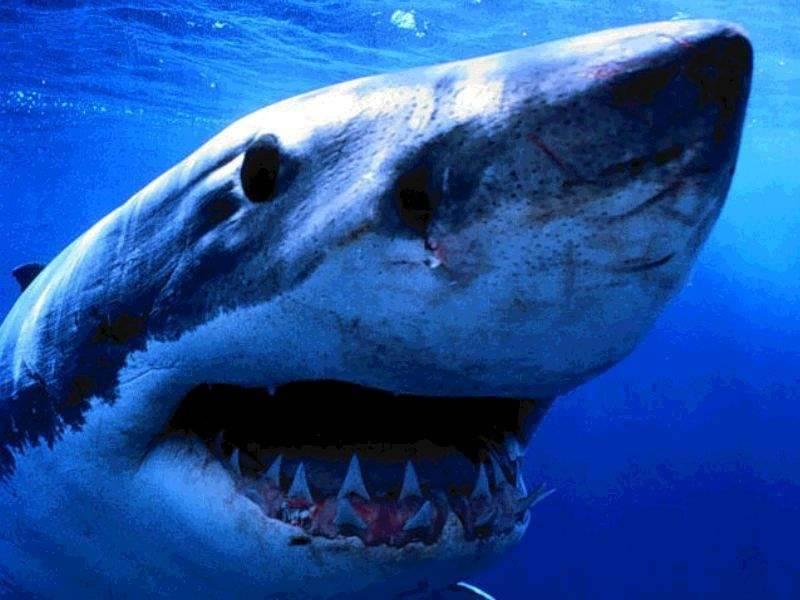 In california uno squalo uccide un surfista di 19 anni - Coloriage de requin baleine ...