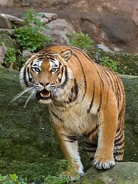 Germania prima protesi all 39 anca per una tigre della for Immagini tigre da colorare
