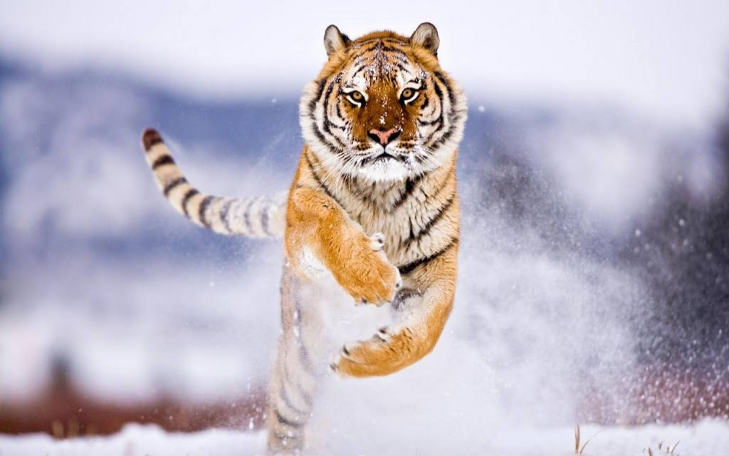 La tigre siberiana prossima all'estinzione, la causa è nella sua formazione genetica