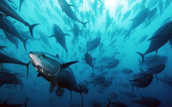 Il tonno, un pesce altamente proteico indicato nell'alimentazione