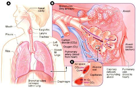 Illinois: impiantata trachea in una bimba di due anni, grazie alle cellule staminali