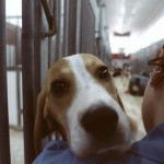 Vivisezione: Green Hill 'commuove' Renzo Bossi, Lombardia propone codice etico sugli animali da laboratorio
