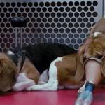 Green Hill, vivisezione: gli animali partono dall' aeroporto di Montichiari