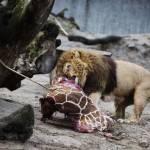 Zoo di Copenhagen: abbattuti 4 leoni, due adulti e due cuccioli